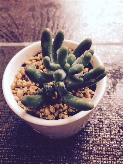 广东新手养的多肉植物-10