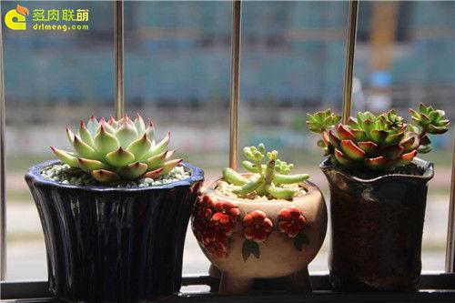 广东新手养的多肉植物-12