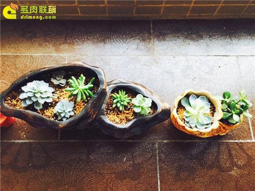 广东新手养的多肉植物-3