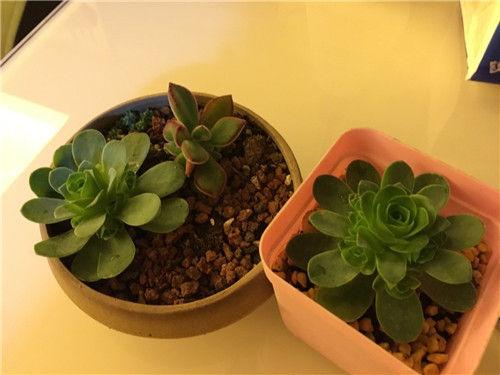 广东新手养的多肉植物-6