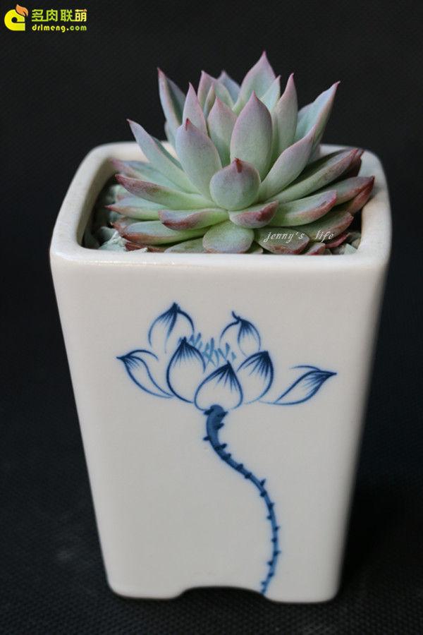 多肉植物-紫罗兰女王