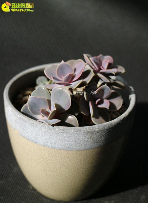多肉植物-紫珍珠