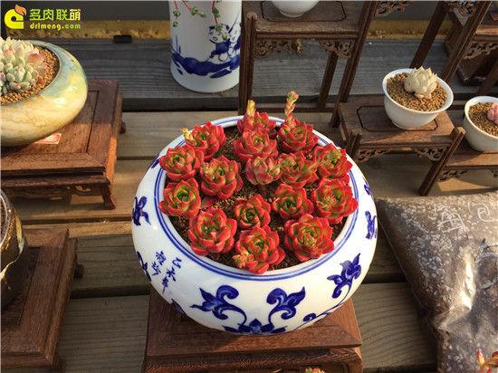 上海景天韵多肉美景-28