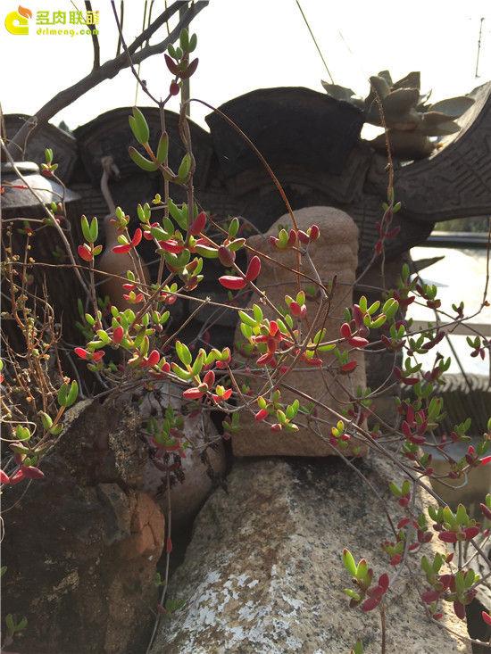 上海景天韵多肉美景-37