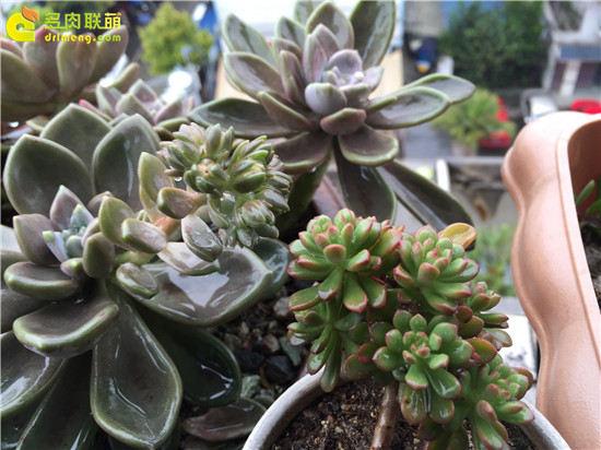露养下自然生长的多肉植物(14)