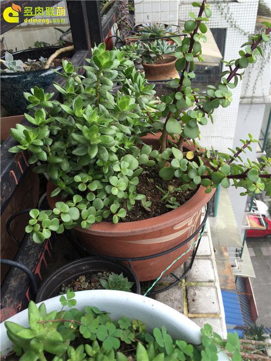 露养下自然生长的多肉植物(22)