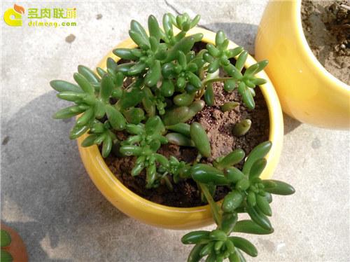 泥巴土种植的多肉植物-11