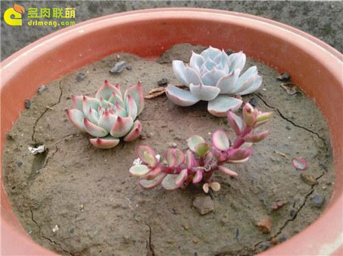 泥巴土种植的多肉植物-18