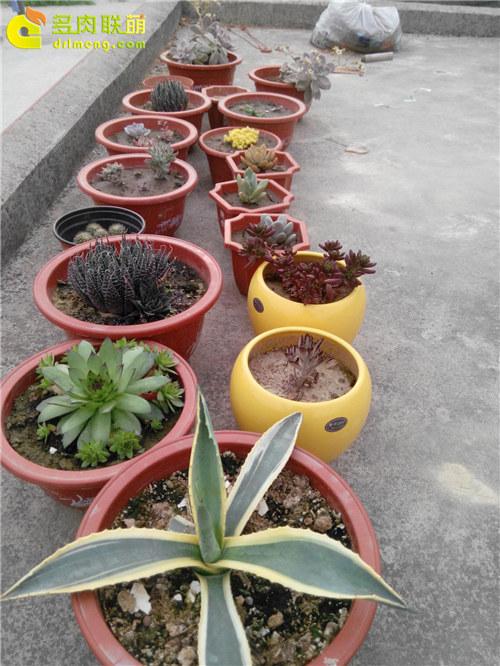 泥巴土种植的多肉植物-20