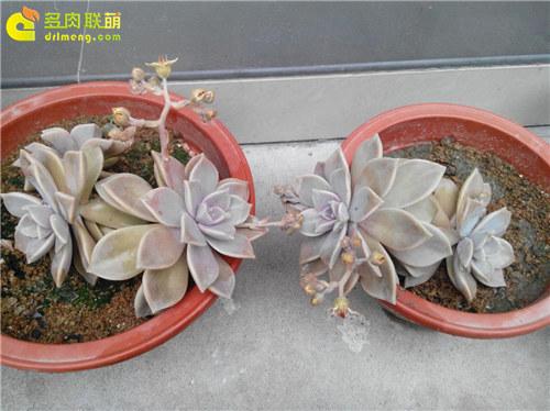 泥巴土种植的多肉植物-9