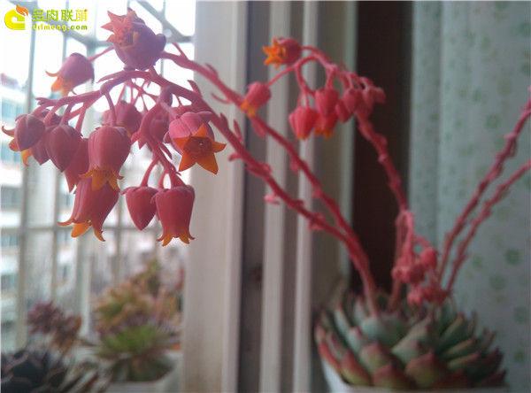 吉娃娃的花