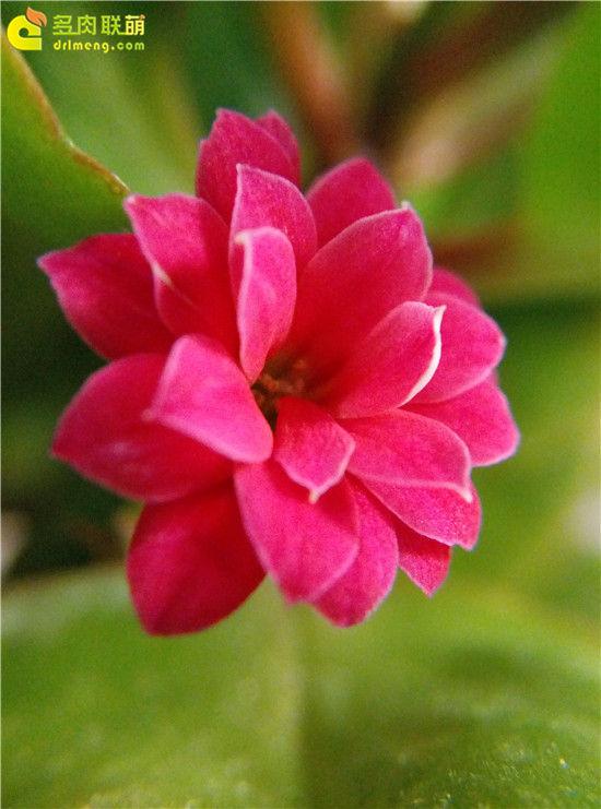 长寿花的花