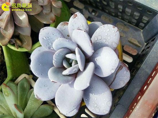 多肉植物雪莲的成长记录-11
