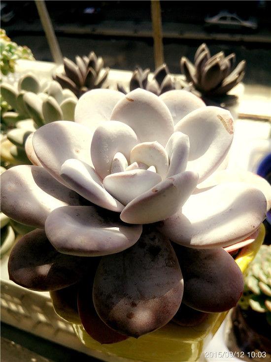 多肉植物雪莲的成长记录-17