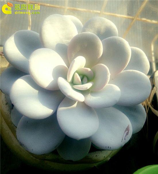 多肉植物雪莲的成长记录-24