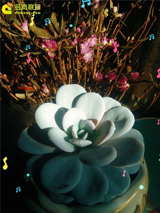 多肉植物雪莲的成长记录-25