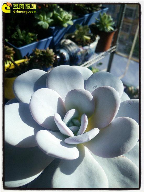 多肉植物雪莲的成长记录-29