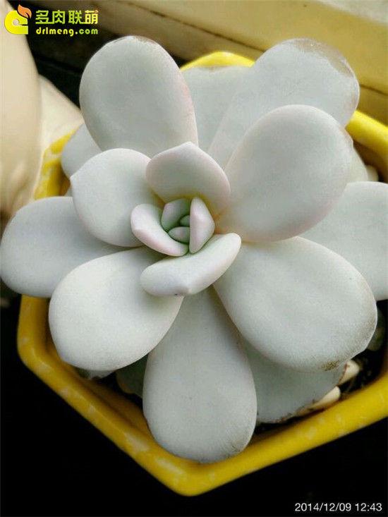 多肉植物雪莲的成长记录-4