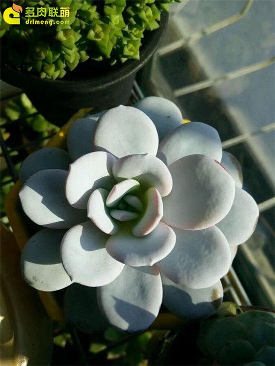 多肉植物雪莲的成长记录-6