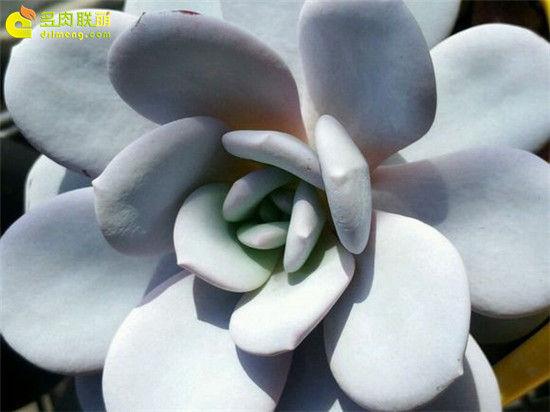 多肉植物雪莲的成长记录-8