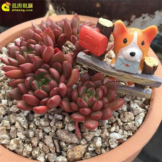 多肉植物-红宝石