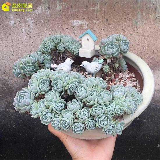多肉植物-墨西哥雪球