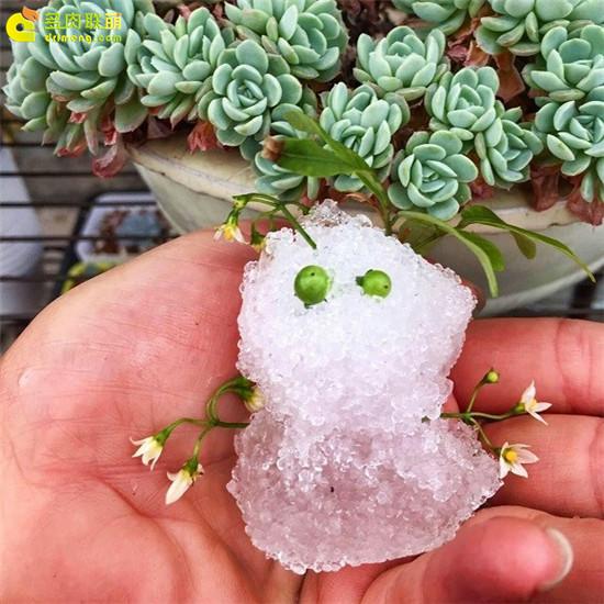 广东的雪人和墨西哥雪球
