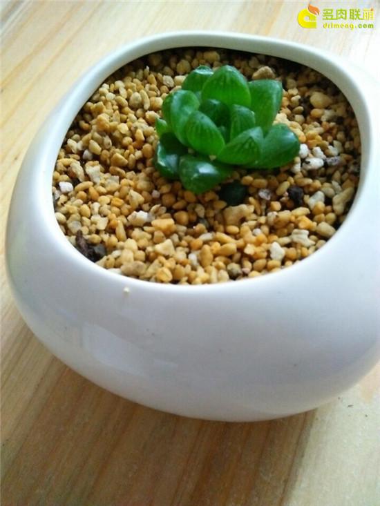 多肉植物玉露