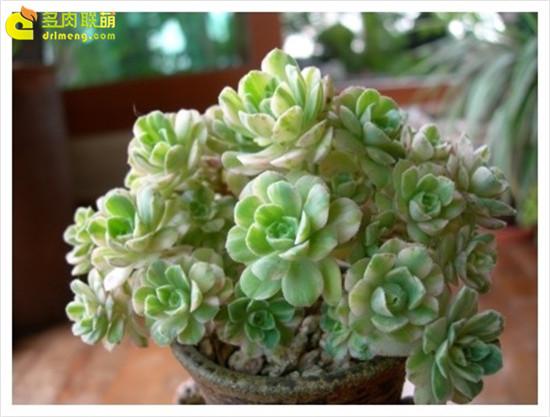 多肉植物爱染锦-3