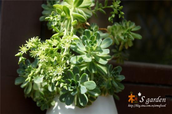 多肉植物爱染锦开花