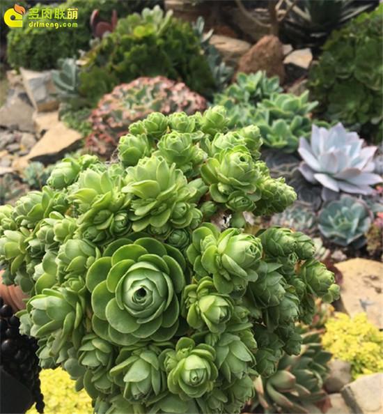 上海浦东有趣的多肉植物大棚主- (3)
