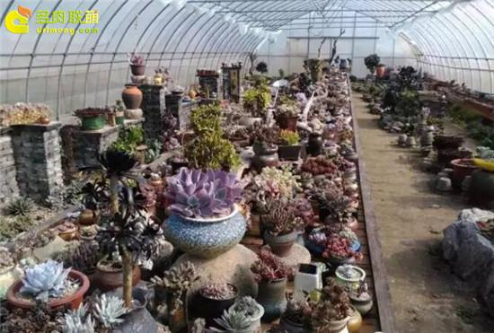 上海浦东有趣的多肉植物大棚主-1