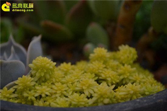 黄金薄雪万年草—护盆草