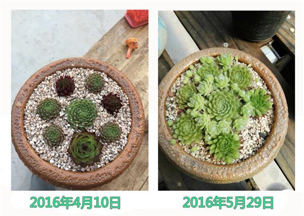 长生草的成长变化