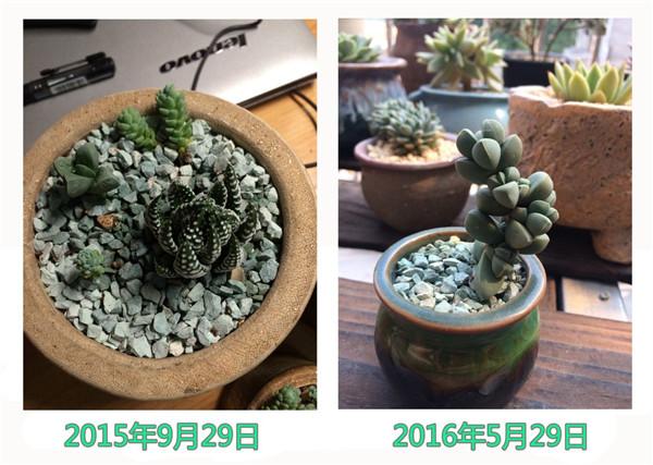 鹿角海棠成长变化-4