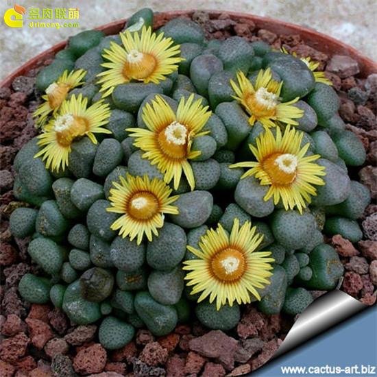 唐扇 Aloinopsis schooneesii 开花
