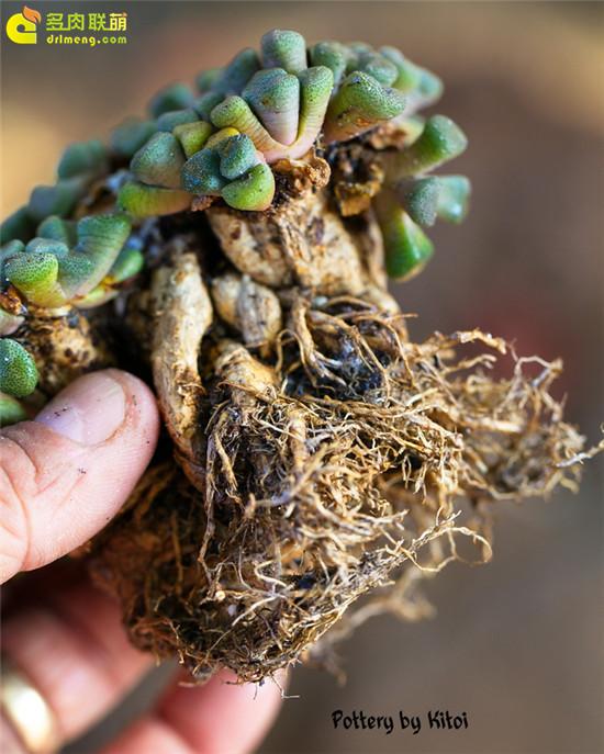 唐扇 Aloinopsis schooneesii 拥有强大的根系