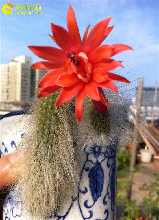 猴尾柱开花