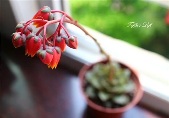 大和锦开花的样子