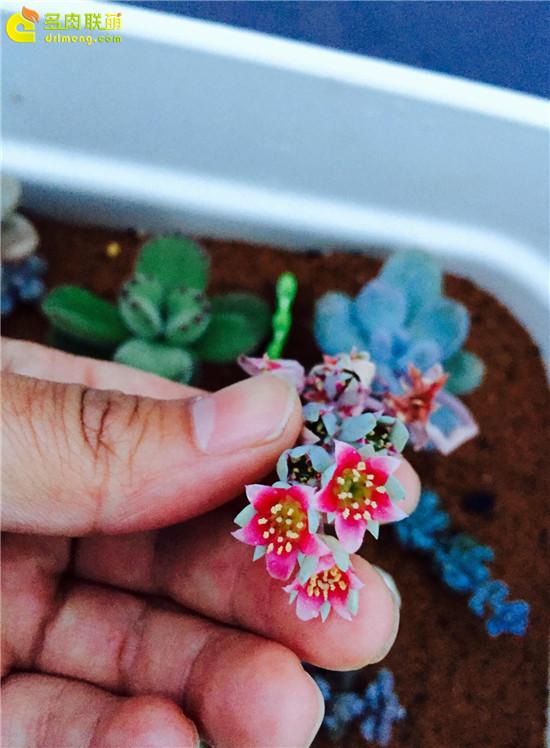 桃美人开花的样子