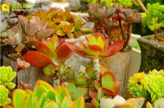 黄绿色系多肉植物-唐印
