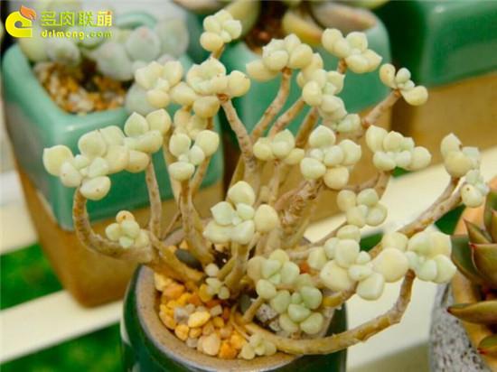 黄绿色系多肉植物-丸叶姬秋丽