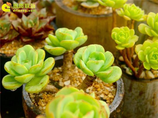 黄绿色系多肉植物-柠檬和绿蔷薇