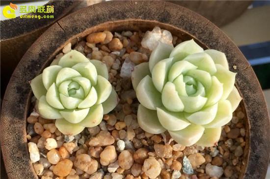 黄绿色系多肉植物-白月影