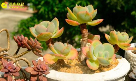 黄绿色系多肉植物-白凤