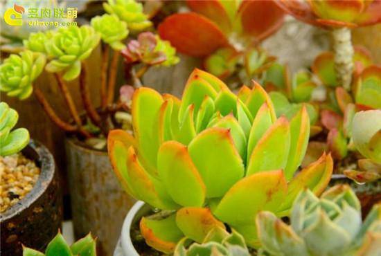 黄绿色系多肉植物-雪川