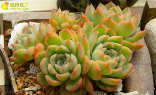 黄绿色系多肉植物-莎莎女王