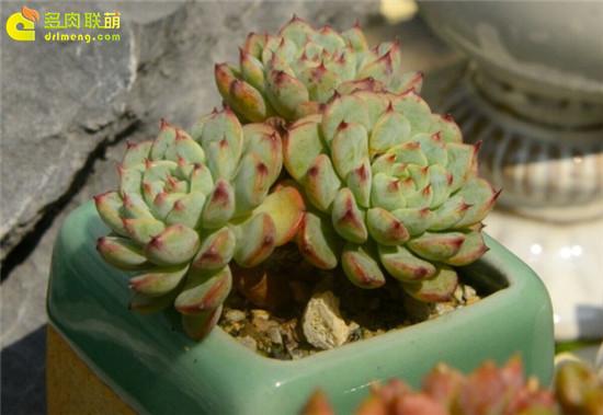 多肉植物—蓝姬