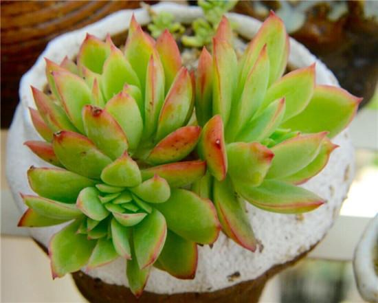 多肉植物—绮罗