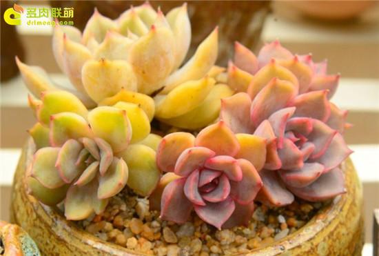 多肉植物—菲欧娜